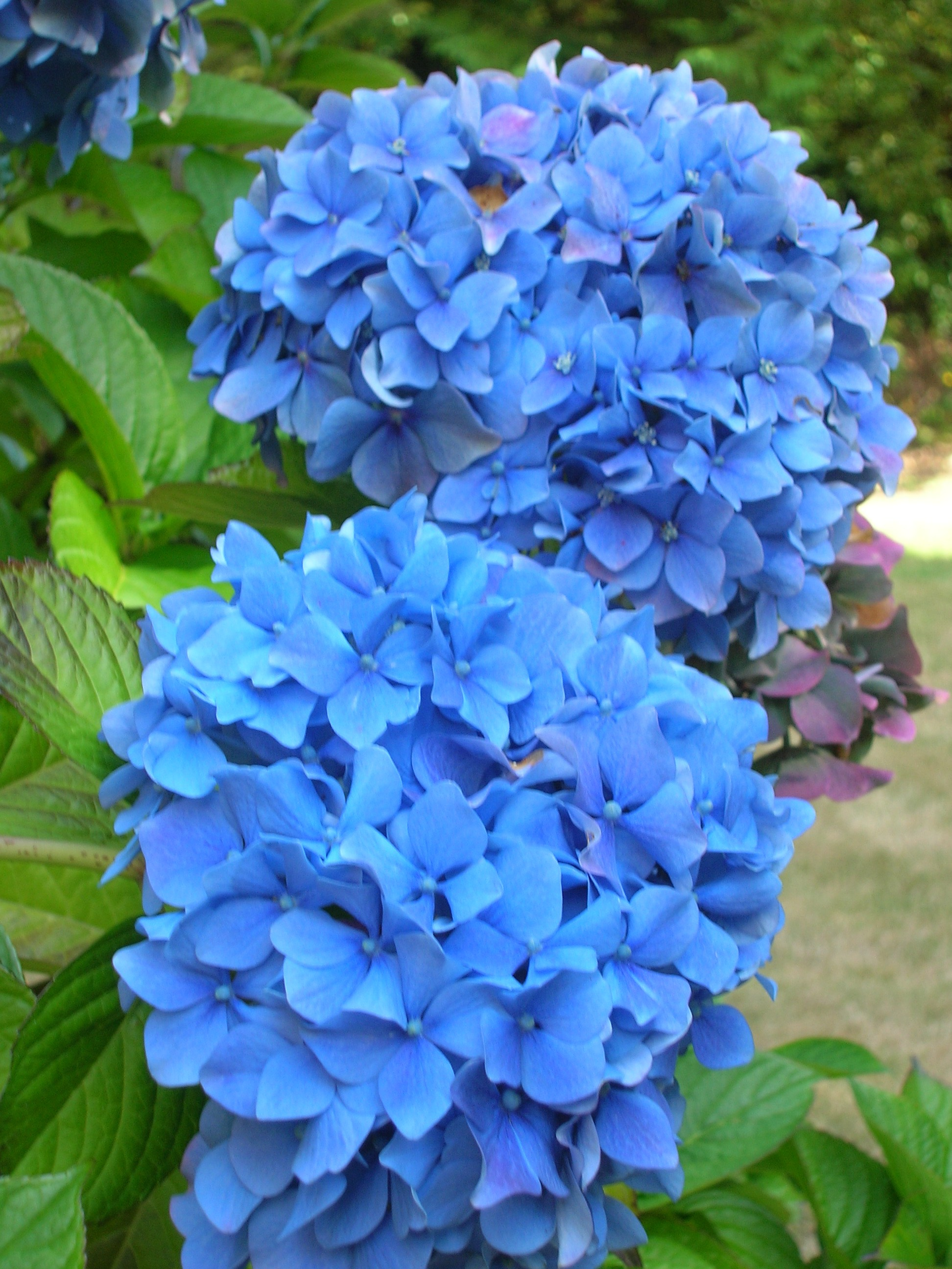 Sue fagalde lick words and music from blue hydrangea productions i chose the name for the massive blue flowers right outside my front door which mirror the ones that cover the azores islands in portugal from which my izmirmasajfo Images